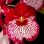 Miltoniopsis-Breathless-Good-Woman