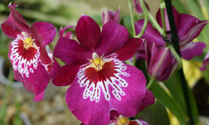 Miltoniopsis-icon Collector's choice at Eikenhoff Orchid nursery
