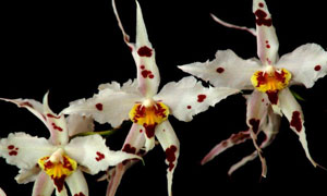 Oncidium-icon Collector's choice at Eikenhoff Orchid nursery