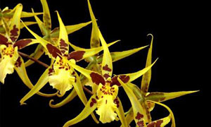 brassia-icon Collector's choice at Eikenhoff Orchid nursery