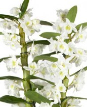 Dendrobium Orchid Family
