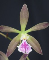 Encyclia Orchids Family