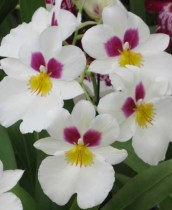 Miltoniopsis Orchid Category