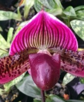 Paphiopedilum Orchids Category