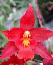 Oncidium Orchids Category Space Mine Red Rendezvous