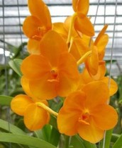 Ascda (Yanisa Gold - Fuchs Harvest Moon) orange