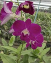 Dendrobium Red AP