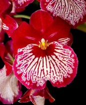 Miltoniopsis Breathless Good Woman