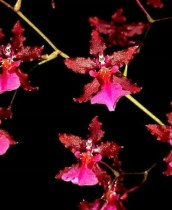 Oncidium Sharry Baby Red Fantasy