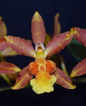 Oncidium Chaculatum Clock Work