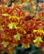 Oncidium Pacific Passage Handsome